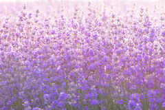 Close up of lavender flowers under the sunrise light. Closeup of lavender flowers under the sunrise light royalty free stock photos