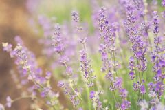Close-up of lavender kissed from the morning sun. Close-up of lavender kissed from the morning sun, Bulgaria.n Royalty Free Stock Photo