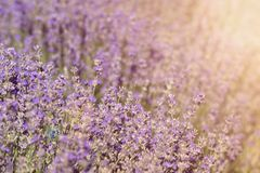 Close-up of lavender kissed from the morning sun. Close-up of lavender kissed from the morning sun, Bulgaria.n Royalty Free Stock Image