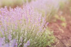 Close-up of lavender kissed from the morning sun. Close-up of lavender kissed from the morning sun, Bulgaria.n Stock Photos