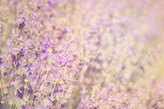 Close-up of lavender kissed from the morning sun. Close-up of lavender kissed from the morning sun, Bulgaria.n Royalty Free Stock Images