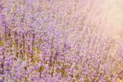 Close-up of lavender kissed from the morning sun. Close-up of lavender kissed from the morning sun, Bulgaria.n Stock Image