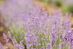 Close-up of lavender kissed from the morning sun. Close-up of lavender kissed from the morning sun, Bulgaria.n Stock Photo