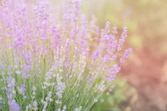 Close-up of lavender kissed from the morning sun. Close-up of lavender kissed from the morning sun, Bulgaria.n Stock Images