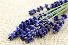 Close up lavender Royalty Free Stock Photo