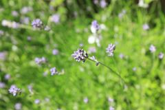 Close-up of lavender plants. With one lavender flower in focus stock photo
