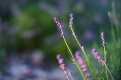 Close-up lavender plants Royalty Free Stock Image