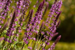 Close up lavender stems on defused field background stock image