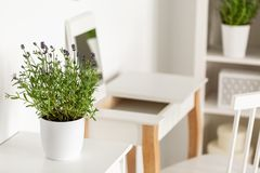Close-up of a lavender in a white flower pot on a white table wi. Th a dressing table and chair in the blurred background royalty free stock image