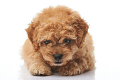 Close-up of laying poodle puppy Royalty Free Stock Photography