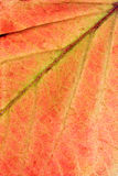 Close up leaf Royalty Free Stock Photo