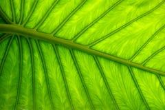 Close up leaf. Green leaf transparent sun light Stock Photography