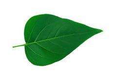 Close-up of leaf. Isolated on white background Stock Photo