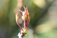 Close up of developing leaf buds in the sunshine. A close up of leaf buds just appearing on a sunny spring day Royalty Free Stock Photos