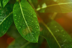 Close up of leaf with dew Royalty Free Stock Images