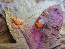 Close-up of leaf in fall color with droplets Royalty Free Stock Photos