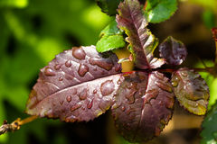 Close-up of leaf garden roses with water drops Stock Photo