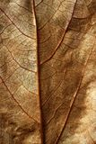 Close up of a leaf, gloden brown in autumn Stock Photography