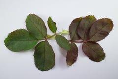 Close up of Leaf of  Pink Rose Flower. Background Stock Image
