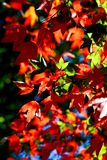 Leaf red maple. Close up leaf red maple in nature stock images