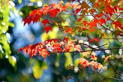 Leaf red maple. Close up leaf red maple in nature royalty free stock photography