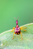 Close up Leaf Rolling Weevil or Giraffe Weevil royalty free stock photography