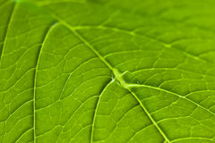 Close up of a leaf showing veins Royalty Free Stock Images