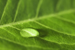 Close up of a leaf showing veins Royalty Free Stock Photo