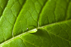 Close up of a leaf showing veins Royalty Free Stock Photography