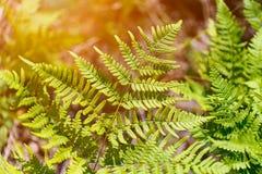 Close up leaf on a Tasmanian Tree Fern (Dicksonia antarctica), a Stock Images