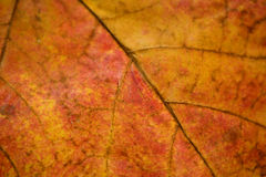 Close up of leaf veins Royalty Free Stock Images