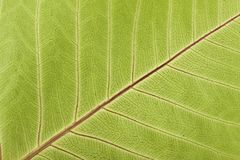 Close-up of Leaf Veins Royalty Free Stock Photos