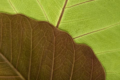 Close-up of Leaf Veins Stock Image