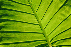 Close-up of leaf veins, giant elephant ear or green taro Royalty Free Stock Images