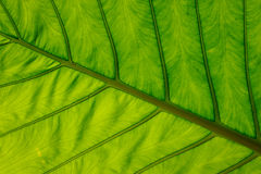 Close-up of leaf veins, giant elephant ear or green taro Stock Photos