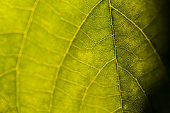 Close-up of leaf veins Stock Photos