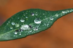 Plant Leaf with water drops. Close-up of a leaf and water drops on it background Stock Image