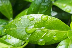 Close-up of a leaf and water drops. On it background royalty free stock photography