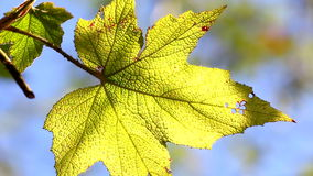Close-up, leave in autumn, HD 1080P stock footage