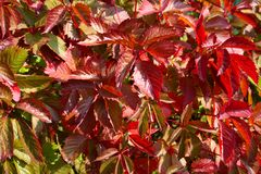 Close-up of leaves of autumnal wild grape. Close-up of red leaves of autumnal wild grapes in the sun Royalty Free Stock Photos