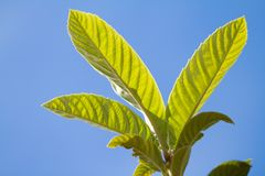 Close up of leaves in backlight of medlar tree on background blue sky stock photo