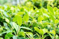 Close up leaves at bush Royalty Free Stock Image