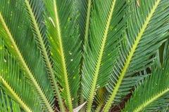 Close-up of leaves Cycas circinalis L. Royalty Free Stock Photo