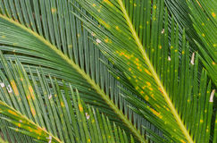 Close-up of leaves Cycas circinalis L. Stock Photography