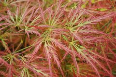 Close-up of the leaves of the dwarf maple Acer japonicum with a. Close-up of Acer japonicum dwarf maple leaves with a red tint and intertwined in the foothills Stock Images