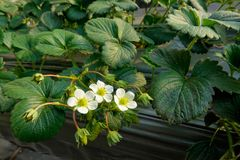 Strawberry. The close-up of leaves, flowers and fruits of strawberry Stock Photography