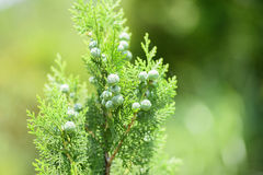 Close up leaves with fruits of cypress tree Stock Photography