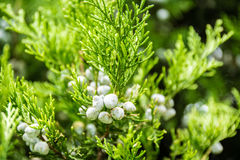 Close up leaves with fruits of cypress tree. Detail of cypress tree branches with fruits and flowers stock photo