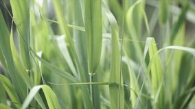 Close up of leaves of immature corn. Immature corn plant with green leafs. Leaves of immature corn Stock Photos