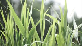 Close up of leaves of immature corn. Immature corn plant with green leafs. Leaves of immature corn Stock Image